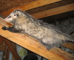 opossum-in-the-attic