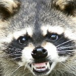 rabid_raccoon
