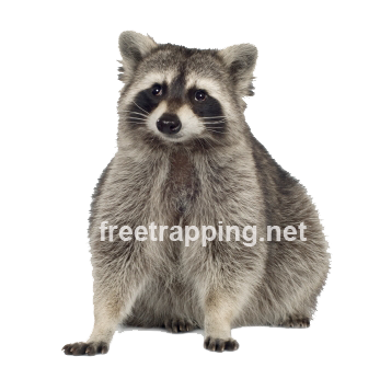 raccoons carry a host of dangerous diseases like rabies